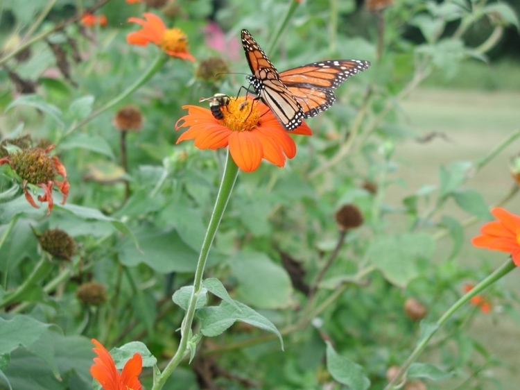 2c5a38a4ea1b3c3263a7_Herbs_Tithonia_Butterflys.jpg