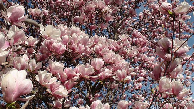 4c50dc5a8bafcedcdb21_Flowering_Magnolia_by_David_Saddler.jpg