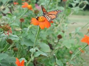 Carousel_image_2c5a38a4ea1b3c3263a7_herbs_tithonia_butterflys