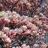 Small_thumb_4c50dc5a8bafcedcdb21_flowering_magnolia_by_david_saddler