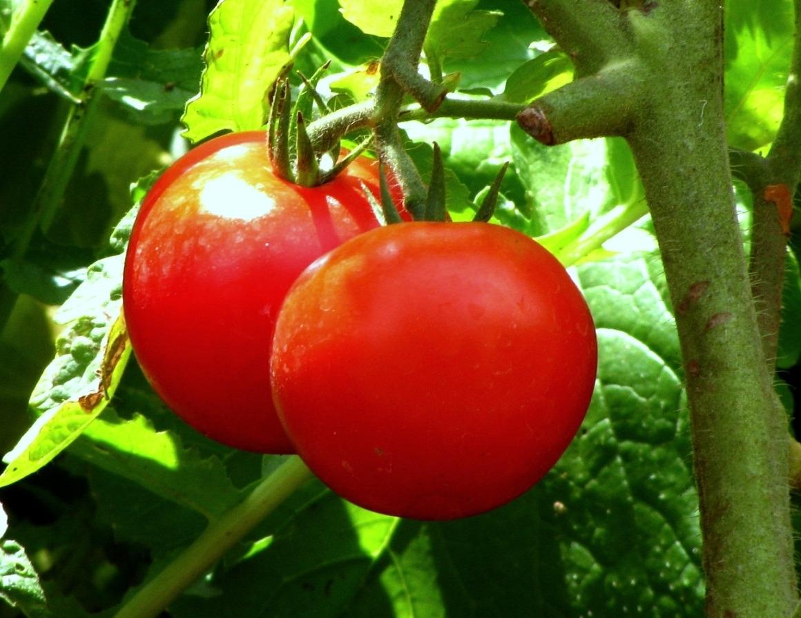 31dd1c73990bd53f9e17_tomatoes.JPG
