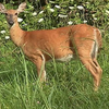Small_thumb_ec49774a02ce9a0bb808_deer