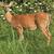 Tiny_thumb_ec49774a02ce9a0bb808_deer