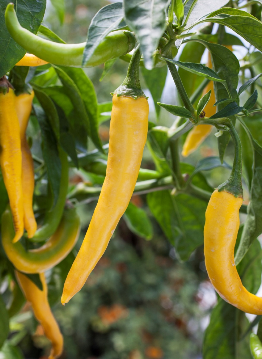 fabad581b0c85b731387_Golden_cayenne_peppers_photocredit_BonniePlants.jpg