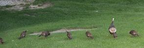 Large Flock of Turkeys