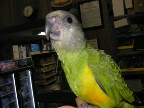 Parrot at the Pet Shanty
