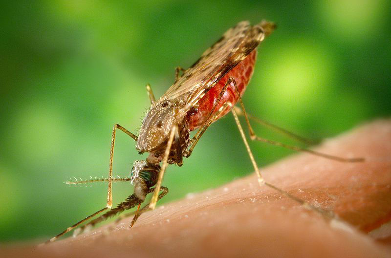 371267ae09449bd898ad_mosquito_wiki_by_James_Gathany.jpg