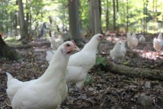 54486ea7fc600afa2c38_chickens.jpg