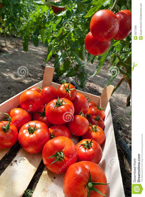 Tomatoes, photo 1