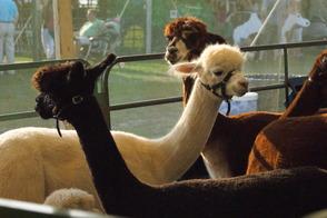 Alpacas, Cows, Trains, Oh My: 4-H Fair Returns to Bridgewater, photo 6