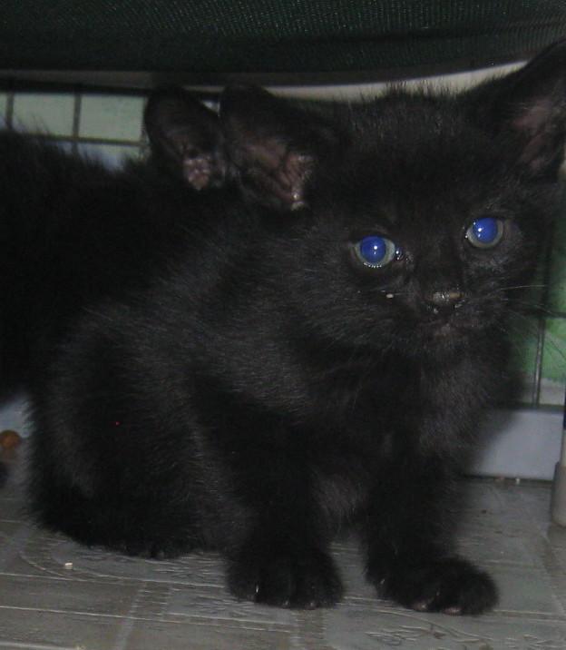 a82fc5e15931b8b211c7_black_kitten.jpg