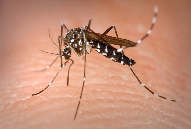 4d5d893c5bd39d1e00c1_Mosquito_Aedes_albopictus_photo_credit_James_Gathany_CDC.jpg
