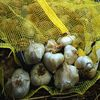 Small_thumb_be410b90381c0d3825bd_garlic_post