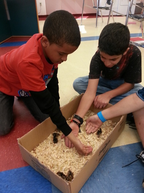 Students interacting with young quail.
