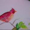 Small_thumb_d1c8acd934c38e6d426b_cardinal