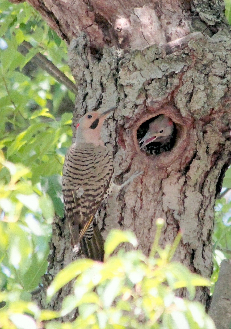 3a87f8541f99f6167307_6_11_first_Warren_Lynaugh_Kenilworth_Northern_Flicker_With_Chick.jpg