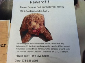 Missing Mini Goldendoodle Last Seen in Westfield, photo 1