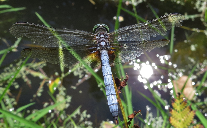 e10f39e32eba28b92a40_Dragonfly_Laurel_Magrini.jpg