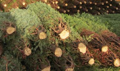 Top_story_ba12951b31b5ecfd3b65_christmas_tree_sales