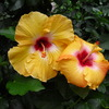Small_thumb_ab0d85282c0fb51e907b_hibiscus-two-yellow