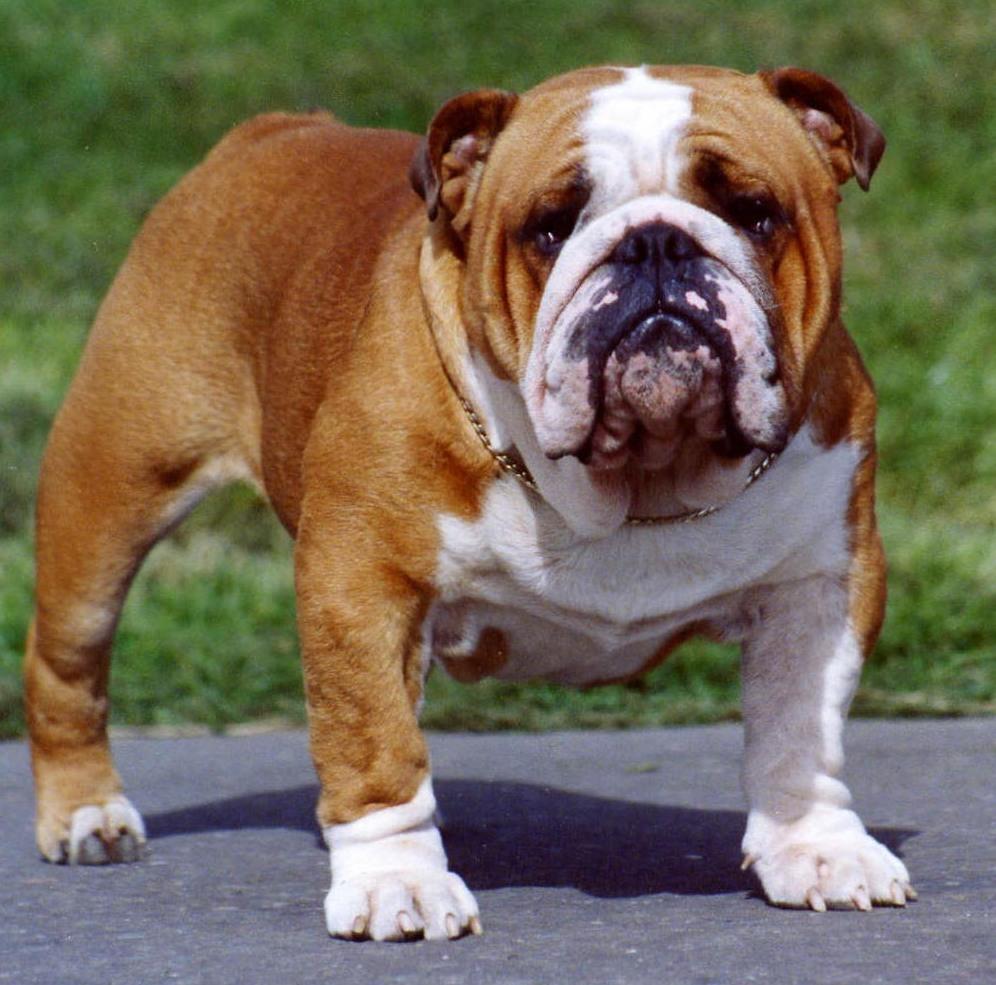 5f8ed0e8ab588f8dea45_Bulldog.jpg