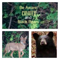 Coyotes and bears