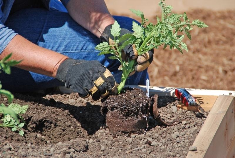 dbbcd98907b278687bac_planting_tomato.jpg
