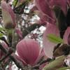 Small_thumb_49abf541954c71d94925_magnolia