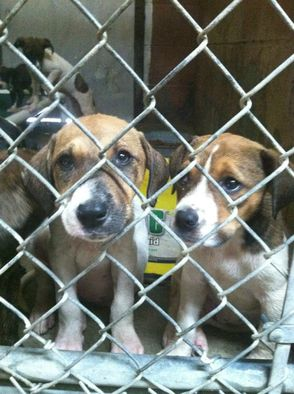 Puppies in the shelter waiting for transport to find their forever home.