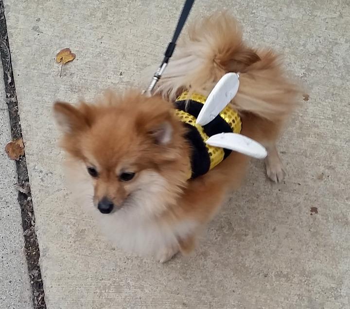 3386b1299eaebd818833_Dog_bee_costume.jpg