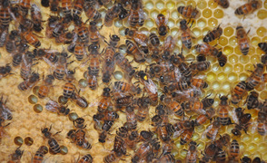 Honey bees surround their queen.