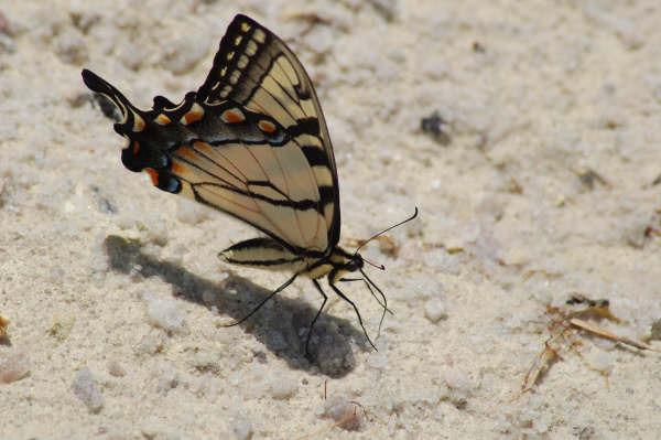 a821d620ac241ab19b88_butterfly_CU.jpg