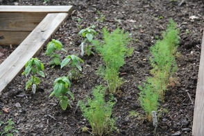 Herb Garden at the Sparta Library
