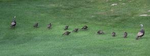 Turkeys Come for a Visit