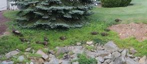 Three hens and nearly 20 chicks roam the yard