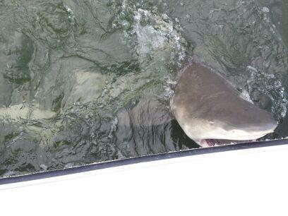 bd5a18390be3f25ccb84_Esposito_shark2.jpg