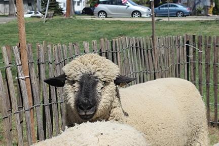 dfa01a819d6a5b81a6e0_72a1c35ee535fd7ee408_Robinson_Museum_Sheep_3.jpg