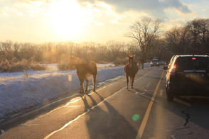Horses Take an Unsupervised Walk on Calais Road, photo 2