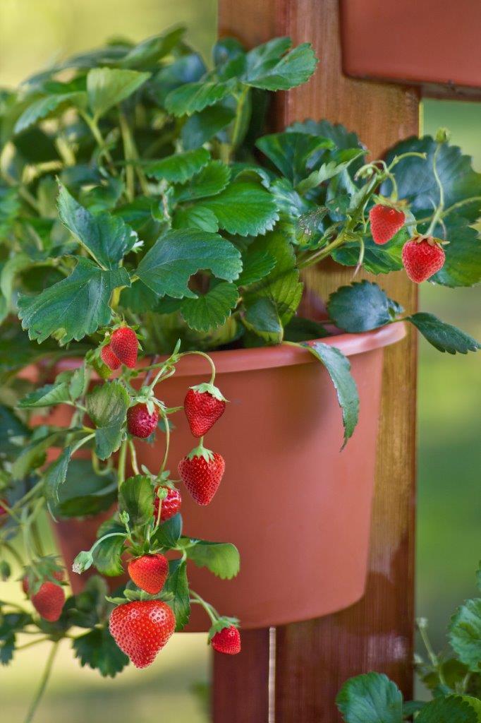 ef579e5cd6e45cbe3aff_strawberries_in_a_pot_copy.jpg