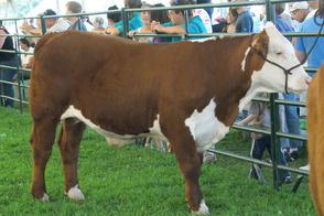 Alpacas, Cows, Trains, Oh My: 4-H Fair Returns to Bridgewater, photo 8