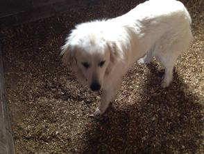Two Great Pyrenees Found in Richlandtown Borough, photo 2