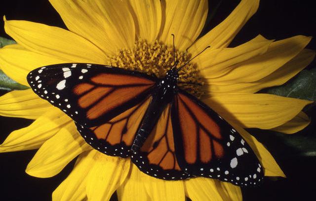 4204e62edd0d736cbd1e_monarch_butterfly.jpg
