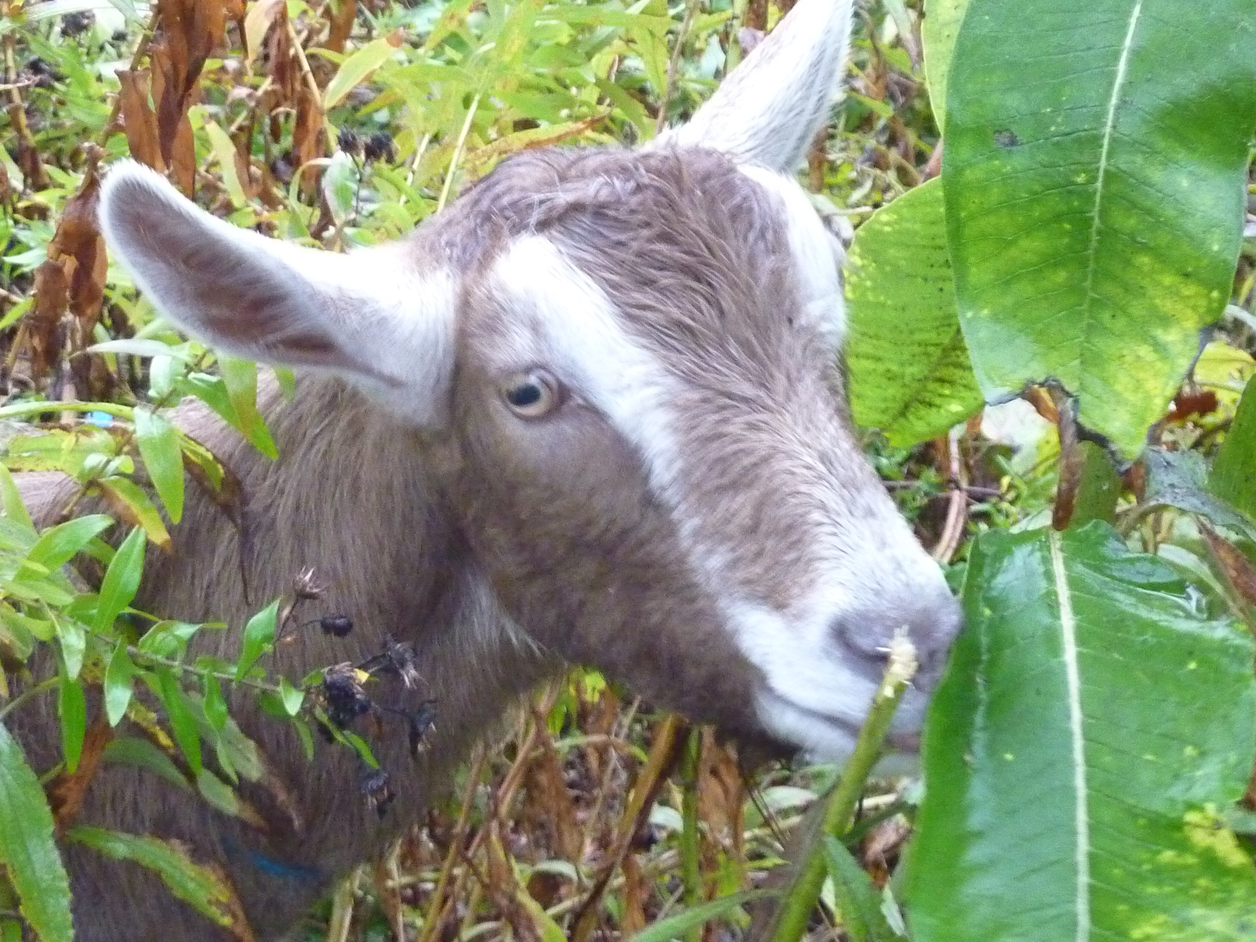 178042ac6962a661bda8_goat_friend.JPG