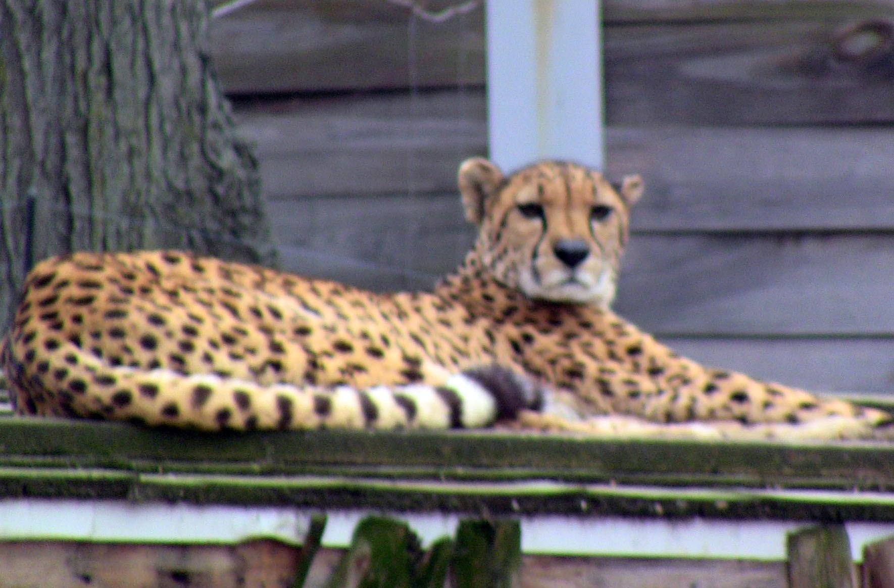 3808907efefbd9274c25_Cubs_at_zoo_-_cheetah.jpg