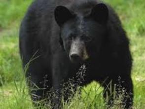 Carousel_image_96b14ee99487a3c1b234_black_bear