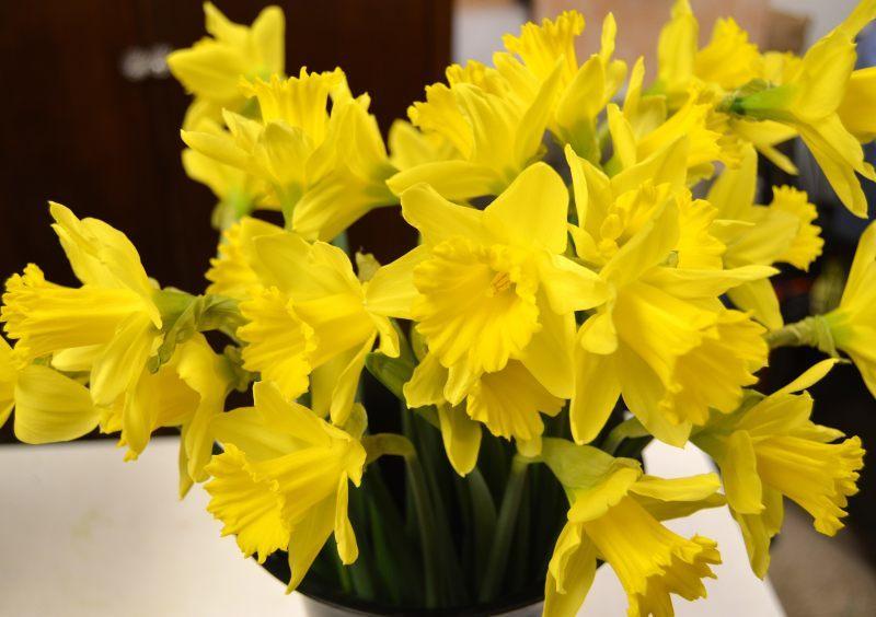 6c84b2a9bcb3bbe9672d_Spring_sprung_daffodils_3-10-15_01.JPG