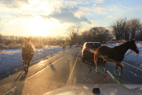 Horses Take an Unsupervised Walk on Calais Road, photo 1
