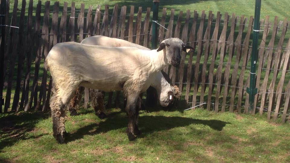 890d5c294512c20c55cc_sheep_after.jpg