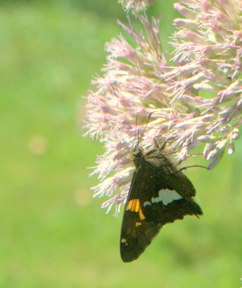 e03f0518b7fcf2d4791a_warinanco_silver_spotted_skipper.jpg