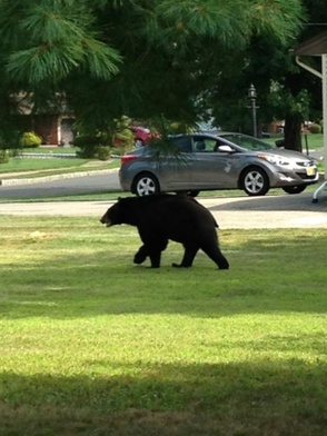 Black Bear Spotted on Big Piece Road